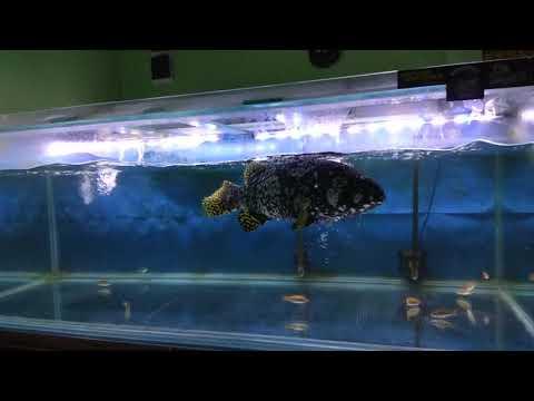Ikan Kerapu Emas Bumblebee Grouper
