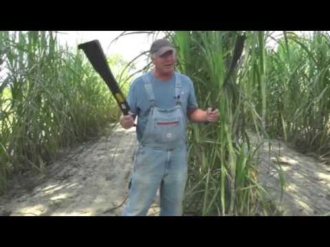 The Best Way to Cut Sugar Cane