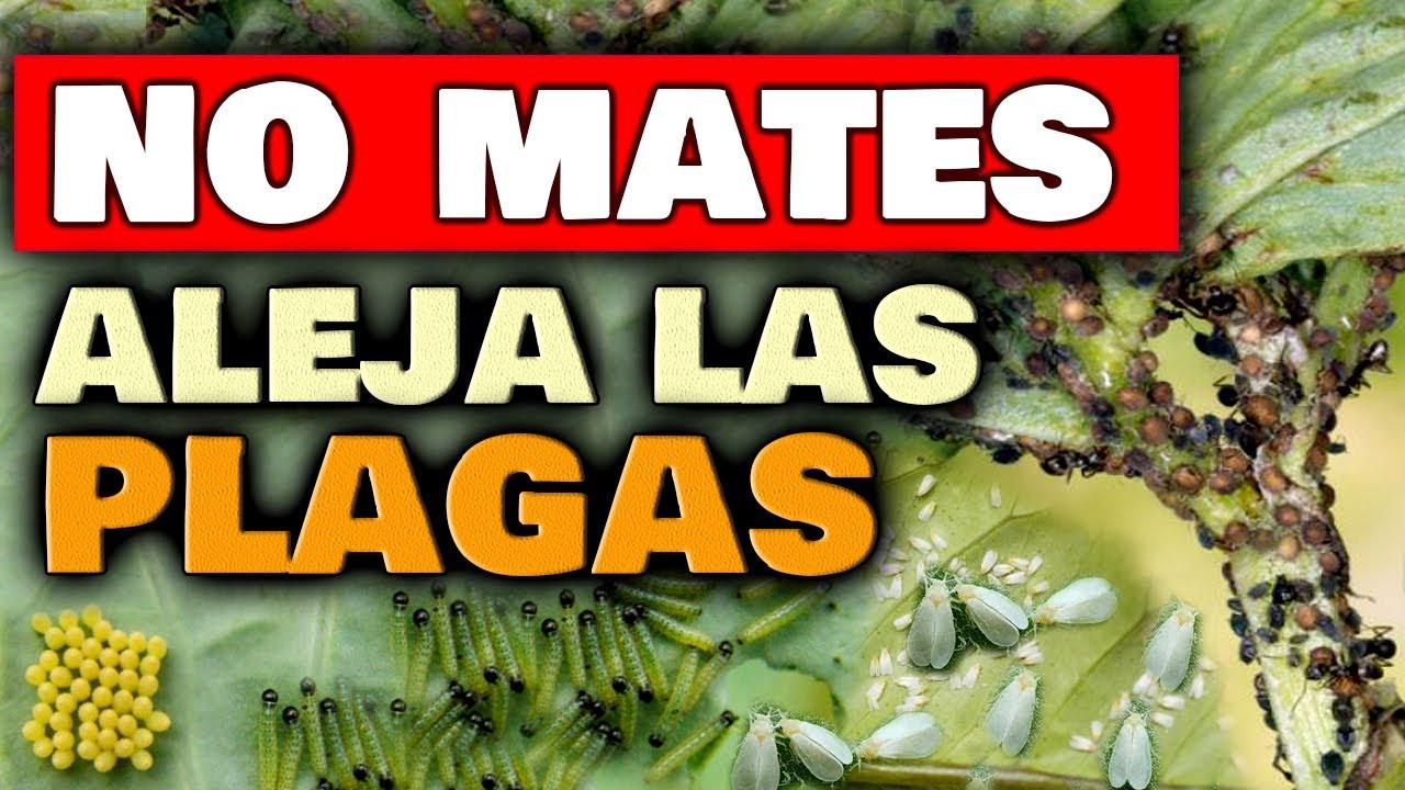 NO TENDRÁS PLAGAS en las PLANTAS !! Hormigas, Mosca Blanca, Orugas, Araña Roja | Insecticida Casero