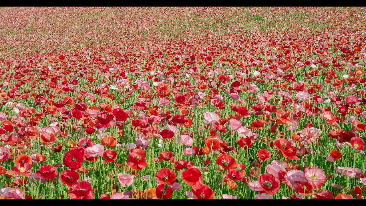 Spring Flowers In Japan Youtube