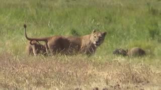 Wildlife in Ngorongoro (Tanzania): Tanzaniyanın Nqoronqoro Milli Parkında çəkdiyimiz ov