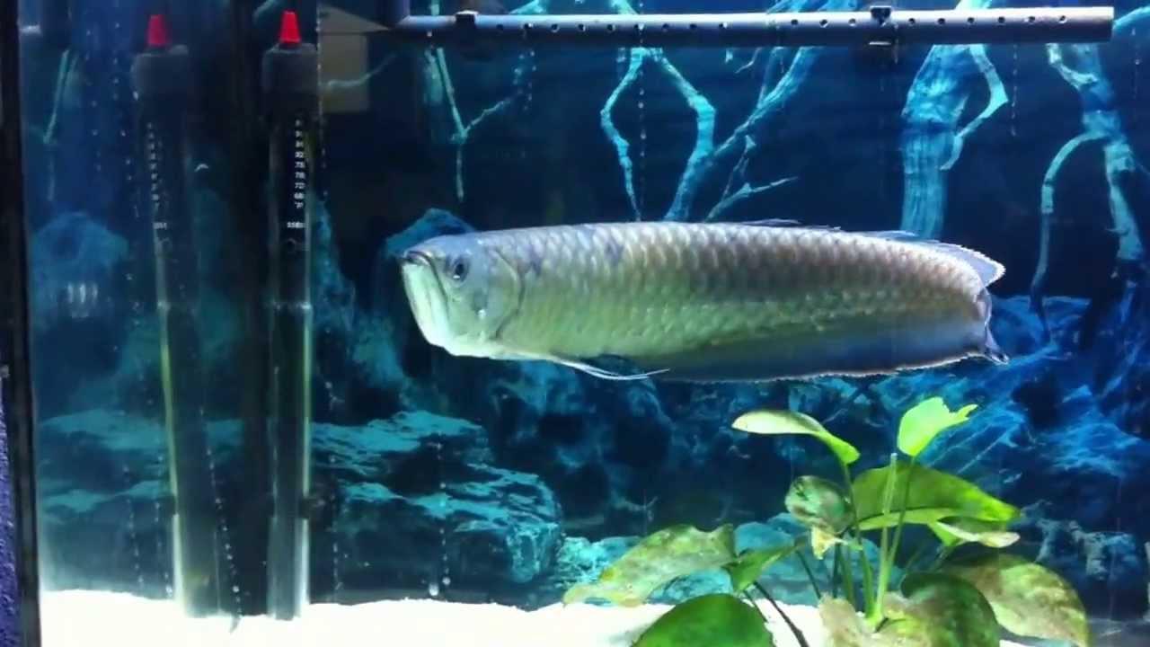 Blue black arowanaand other arowana fishis for sale get for Arowana fish for sale online