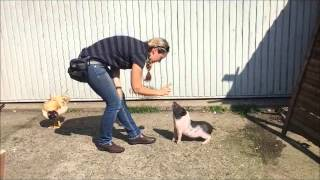 Mini Pig Tricks Sitz und Dreh dich