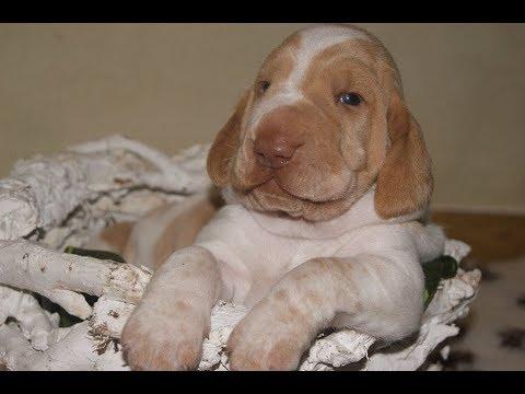 """Bracco italiano puppies """"Z Pogońskiego Wzgórza"""""""