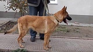 МАЛИНУА + НЕМЕЦКАЯ ОВЧАРКА = ЛАДА. Metis German Shepherd and Malinois.
