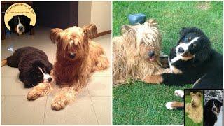 STORY OF A FRIENDSHIP BETWEEN a BERNESE MOUNTAIN DOG & BRIARD! Masha&Lybra through the years