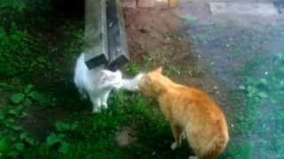 Пение майских котов))