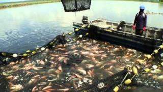 Sustainable Tilapia Farming Demo, Tropical Aquaculture Products, Inc. thumbnail