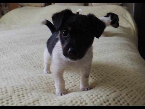 Jack Russell puppies - lovely temperaments