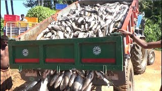 LOT OF FISH CATCHING LIVE BY FISHERMEN
