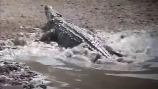 Нападение Крокодила на Людей!!! Смертельное Видео. Шок Видео.