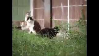 Szczur gigant atakuje koty !!!
