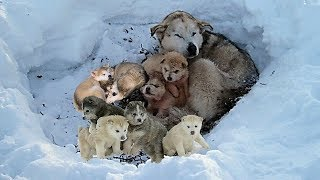 Rescue 9 Homeless Puppies and Mom Live In The Snow Will Make Warm Your Heart thumbnail