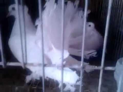 Trại chim bồ câu cảnh, gà cảnh Đà Lạt Call 0909466269