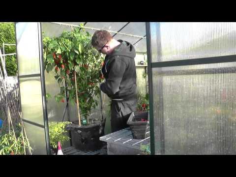 Week 45 Chilli Grow - Dorset Naga Challenge