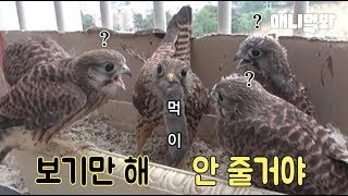 Mother Bird Only Shows Prey To Her Chicks Without Feeding Them, Because
