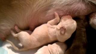 Newborn Labrador Retriever Puppies
