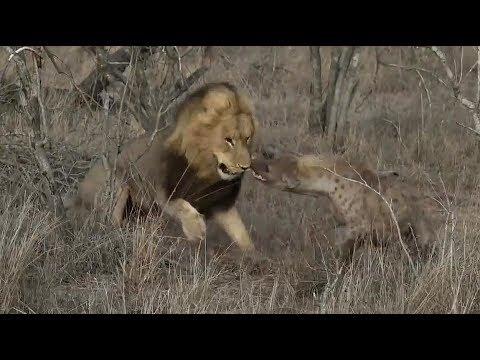 SafariLive Nov 03-  Hyena Corky Has Fought With A Male Lion!!