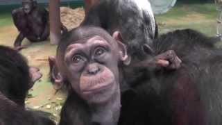 4月下旬生まれのチンパンジーの赤ちゃんです。運良く目の前まで来てくれ...