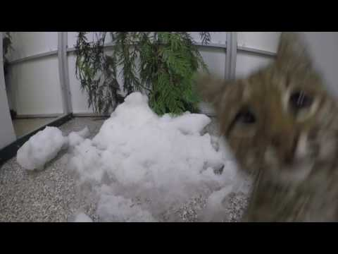 Bobcat kitten plays in snow during stay at Oregon Zoo vet center