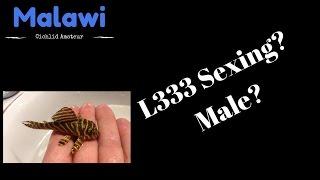 L333 Pleco Sexing