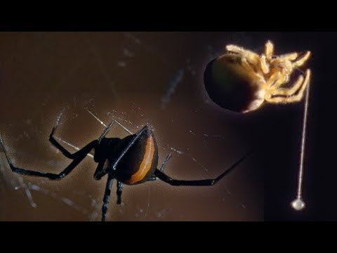 Red Back Spider - Attenborough: Life in the Undergrowth - BBC