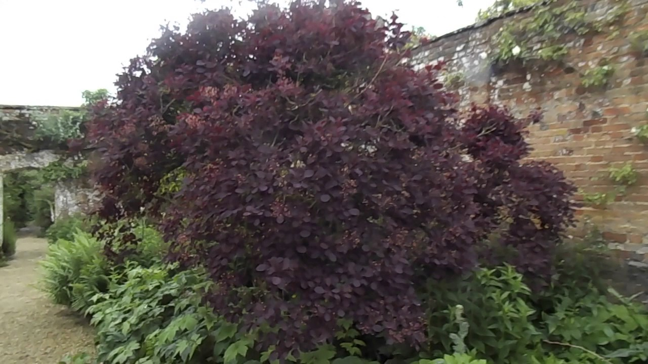 cotinus coggygria royal purple youtube. Black Bedroom Furniture Sets. Home Design Ideas
