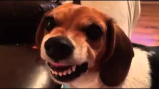 Grumpy cat has nothing on grumpy beagle wiener dog