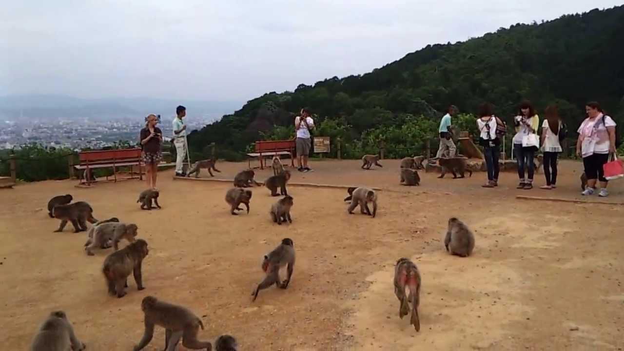 Arashiyama Monkey Park, feeding time - YouTube