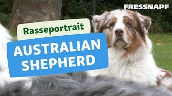 Australian Shepherd Rasseportrait | FRESSNAPF