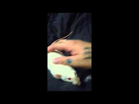 Female Rat In Heat