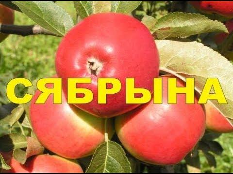 яблоня сябрына описание фото