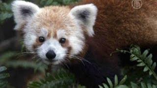 В Вашингтоне поймали сбежавшую малую панду (новости)