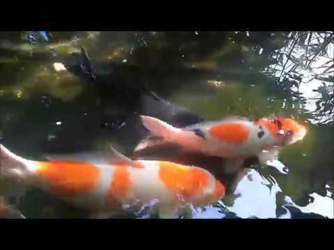 Ikan Sumatra Bersih Bersih Kutu Ikan Dan Jamur Pada Ikan Koi Maupun Kolam Youtube