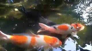Ikan sumatra bersih bersih kutu ikan dan jamur pada ikan Koi maupun Kolam