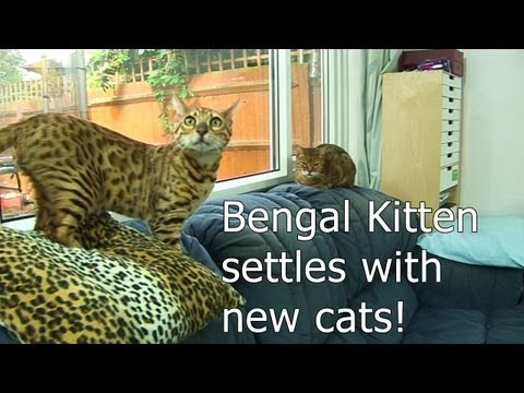 Bengal kitten settles with other cats - Part 6