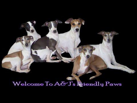 Twistin's Litter - Italian Greyhound Puppies (5 Weeks)