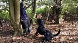 Rottweiler Escobar woodland attack protection training