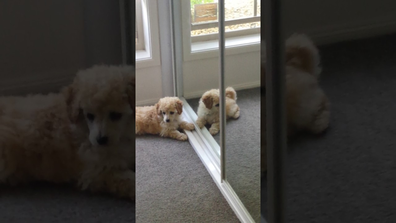 Alfie My Toy Poodle Puppy Barking At Himself At The Mirror