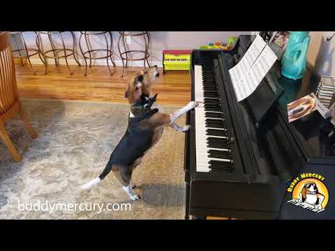 THE MOST AMAZING DOG IN THE WORLD! Buddy Mercury Sings and Plays Piano!
