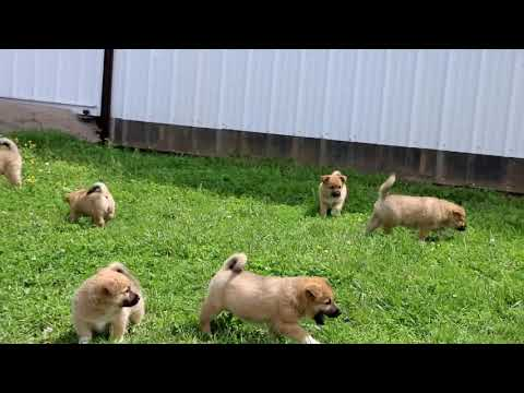 Welsh Corgi Mix Puppies For Sale