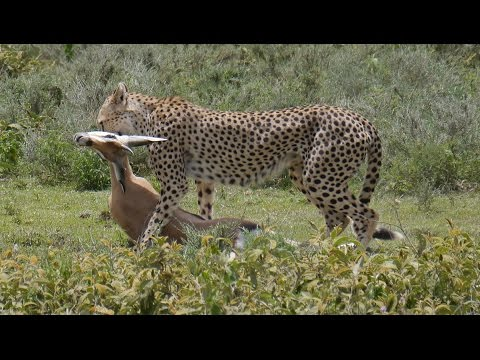 Cheetah with 2 cups killing a Thomson's gazelle in Ngorongoro Conservation Area