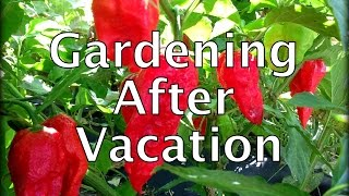 Gardening after Vacation