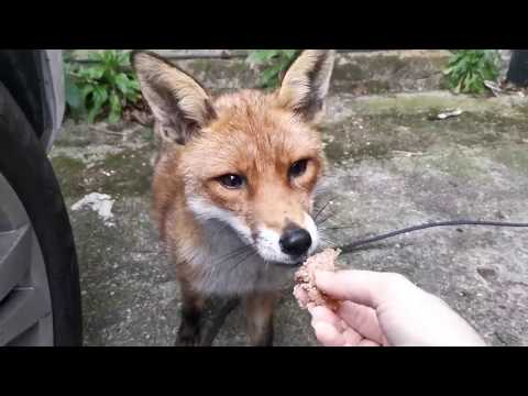 I´ve Become  Friends With A Wild Fox, Handfeeding