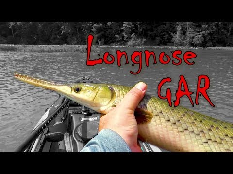 Longnose Gar Fishing Potomac River Dinosaurs From A Kayak (Fish With Teeth)