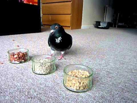 Pigeon food: barley, corn, millet, wheat