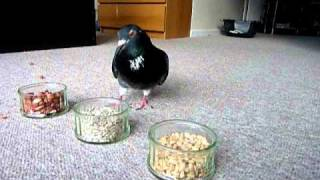 Pet pigeon (Elmo) and the food experiment