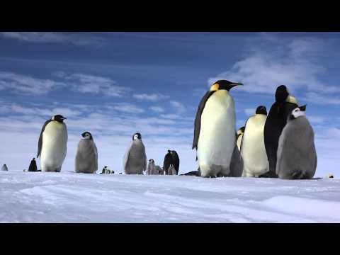 Emperor PENGUIN  皇帝ペンギン(南極大陸)4K (UHD)