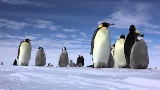 Antarctica Emperor Penguin (皇帝ペンギン)Colony.