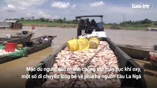 Hàng trăm tấn cá nuôi bè chết trắng trên sông Đồng Nai